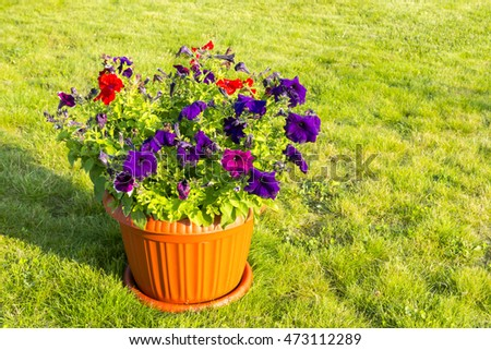 Natural flowers in pot outside #473112289