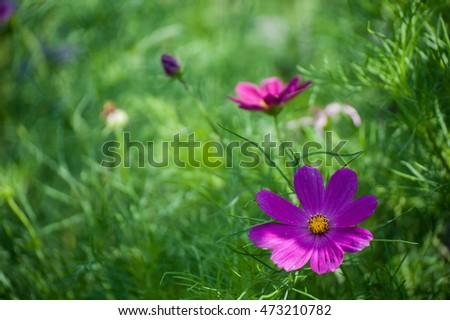 cosmos flowers on doi mon jan chiangmai,Thailand #473210782