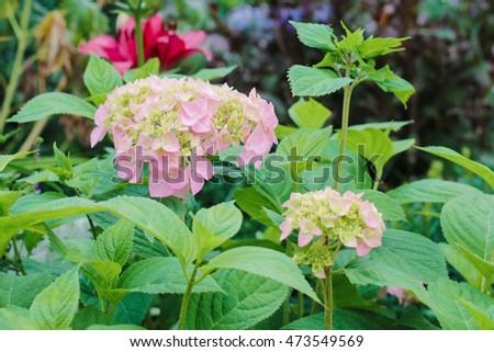 Hydrangea on garden flower bed #473549569