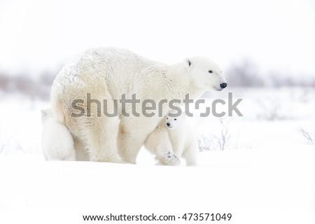 Polar bear mother (Ursus maritimus) with two cubs walking on tundra, Wapusk National Park, Manitoba, Canada