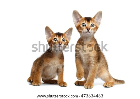 Two Cute Abyssinian Kitten Sitting and Curious Looking in Camera on Isolated White Background, Front view, Baby Animal Royalty-Free Stock Photo #473634463