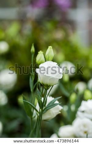 White lisianthus flowers in garden background. #473896144