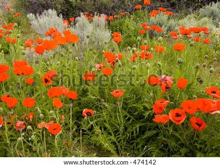 orange poppies outside Alpine Utah #474142