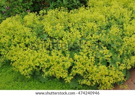 Lady's-mantle or Alchemilla mollis #474240946