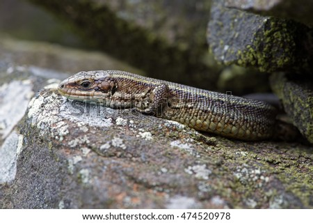 Common Lizard basking on lichen covered stone wall/Common Lizard/Viviparous Lizard (Zootoca Vivipara) #474520978