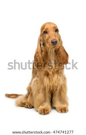 Beautiful English Cocker Spaniel #474741277