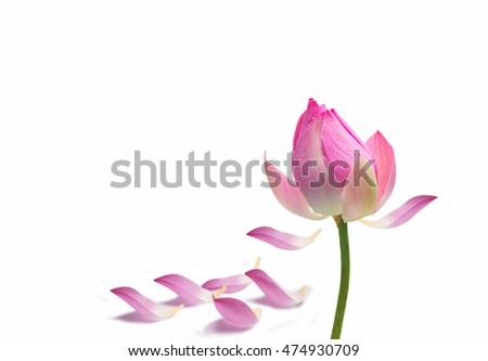 Water lily flower (lotus) and green background. The lotus flower (water lily) is national flower for India. Lotus flower is a Gautama Buddha symbol in Asian culture.