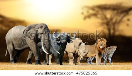 Big five africa - Lion, Elephant, Leopard, Buffalo and Rhinoceros Royalty-Free Stock Photo #475025365