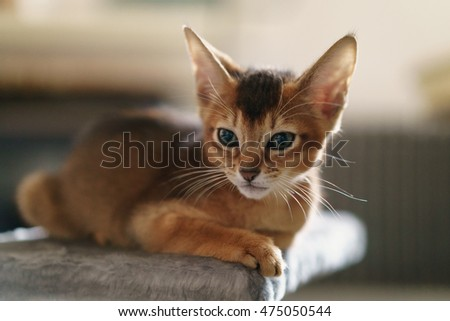 abyssinian kitten wild color indoor portrait, shallow focus grainy photo Royalty-Free Stock Photo #475050544