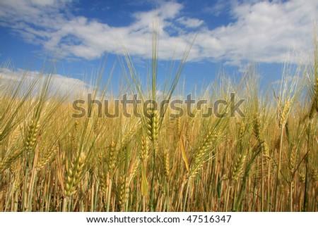 grainfield #47516347
