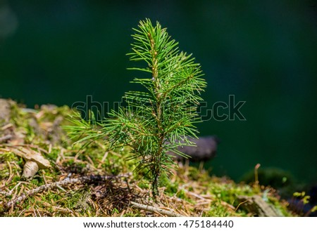 Small young green spruce pine tree plant needle stump forest woods moss background #475184440