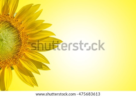 Close-up of sunflower on yellow background style pastel tones.backdrop of space for text input #475683613