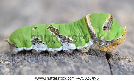 The big green caterpillar on wood and green blur background. #475828495