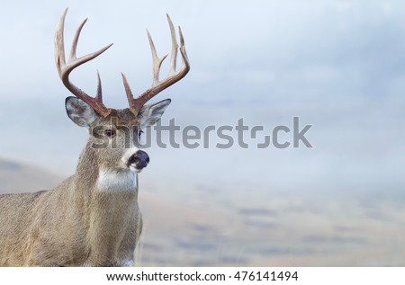 Whitetail Buck Deer close up portrait of large trophy class stag during hunting season Royalty-Free Stock Photo #476141494