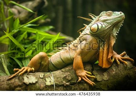 common iguana Royalty-Free Stock Photo #476435938