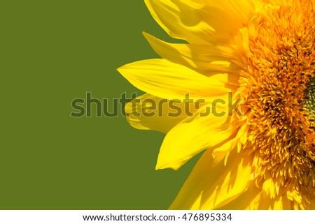 Sunflower flower on a background of blue sky. Summertime, sunny. #476895334