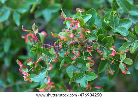 Pistacia atlantica or Persian turpentine tree #476904250