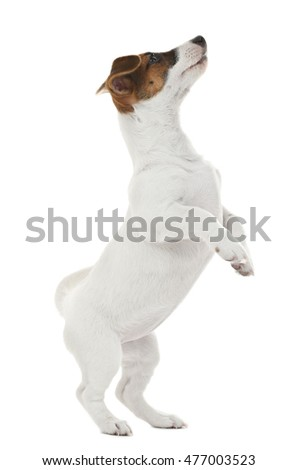 Cute Jack Russell terrier, isolated on white #477003523