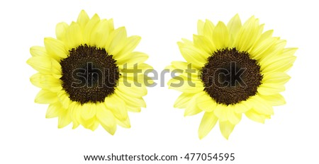 Flower head of sunflower #477054595