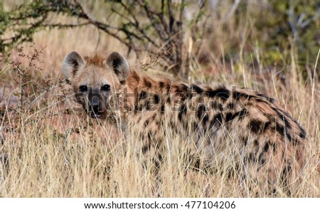 picture of a spotted hyena in Madikwe game reserve,South Africa.