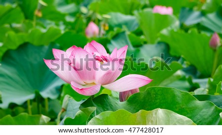 Pink Lotus flower and green leaves #477428017