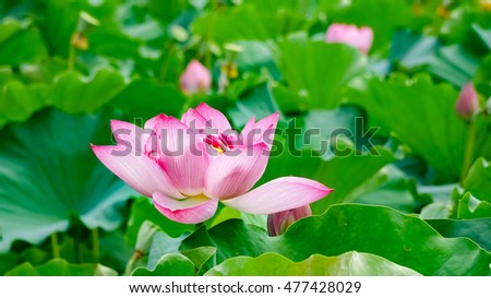 Pink Lotus flower and green leaves #477428029