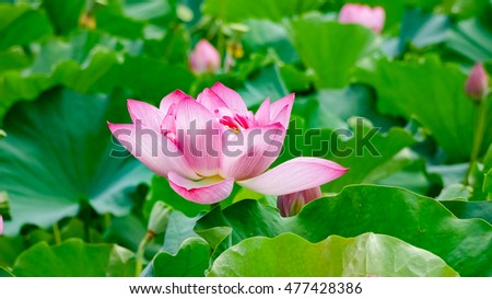 Pink Lotus flower and green leaves #477428386