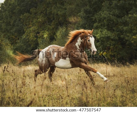 brown horse with large white spots and a red mane on a background of green forest #477507547