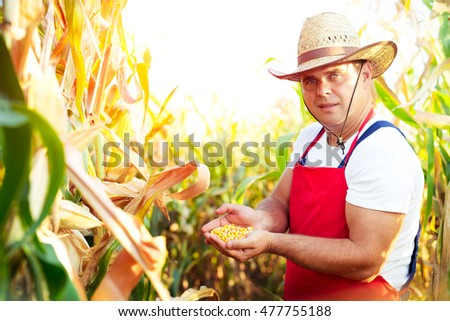 Farmer checking the quality of the corn crops #477755188