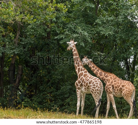 Iconic Coloring on a Pair of Adult  Giraffes Forging  #477865198