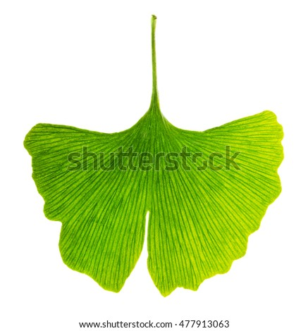 Translucent ginkgo biloba leaf in transmitted light. Light passes through a Ginkgo leaf. Also maidenhair tree, in the division Ginkgophyta. Used in medicine. Isolated macro photo close up from above. #477913063