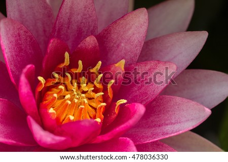 Beautiful pink water lily #478036330