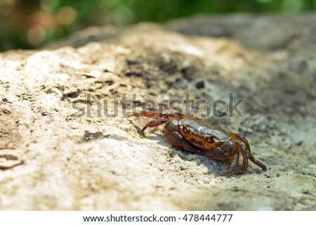 Freshwater crab (Potamon fluviatile) on a rock #478444777