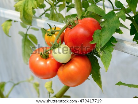 fresh tomato growing in a greenhouse . #479417719