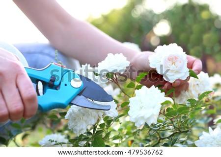 Pruning roses ground cover. Gardener pruning shears cut shrubs roses #479536762