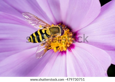 Hoverfly, flower fly, syrphid fly. Eupeodes luniger collects nectar from the pink flower. Mimicry of wasps and bees. Macro photo. Natural background. Beautiful summer wallpaper #479730751