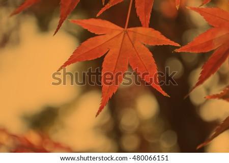 red leaf on vintage tone #480066151
