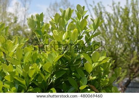 Evergreen Leaves In Kashmir #480069460