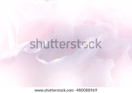 Petal of rose in sweet color blur background #480088969
