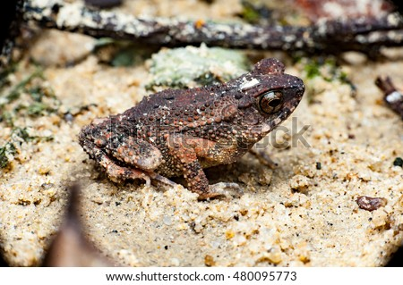 True Toad (Ingerophrynus sp) sit still on the ground with dead stem as the background #480095773