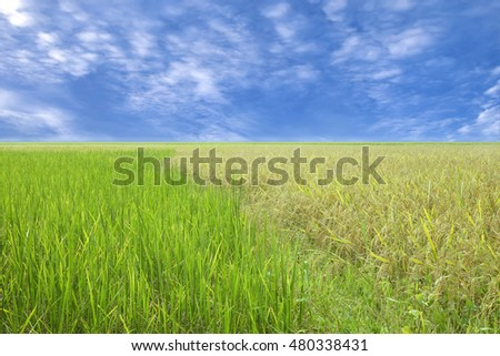 Blue sky and a rice filed #480338431