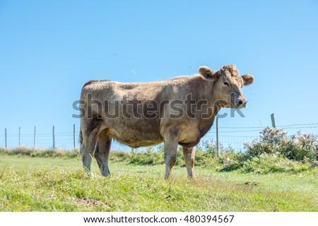 Cow #480394567