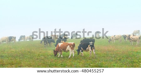 Cows Grazing on a Foggy Morning #480455257