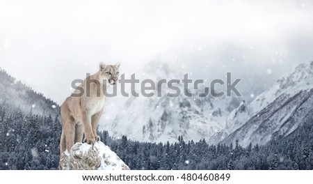 Portrait of a cougar, mountain lion, puma, Winter mountains