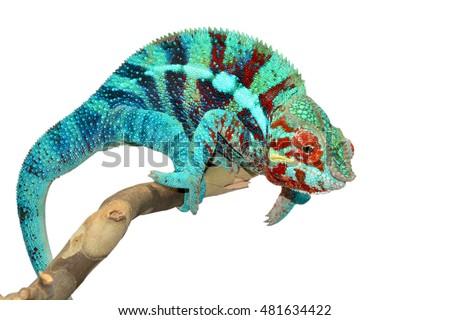 Panther Chameleon - Ambanja - Furcifer Pardalis #481634422