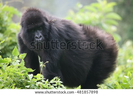 Wild Gorilla animal Rwanda Africa tropical Forest #481857898