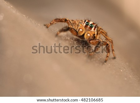 Jumping Spider #482106685