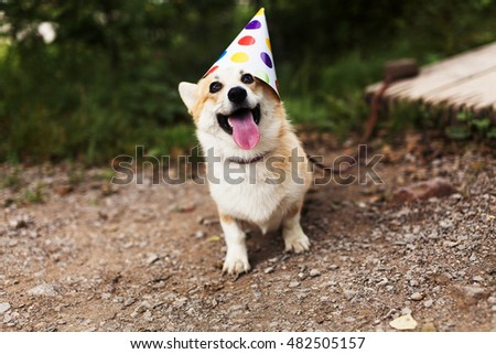 Smiling corgi dog in a fancy cap, celebrating Birthday