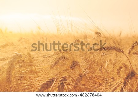 wheat field with ripe ears ready for harvest in sunset light #482678404