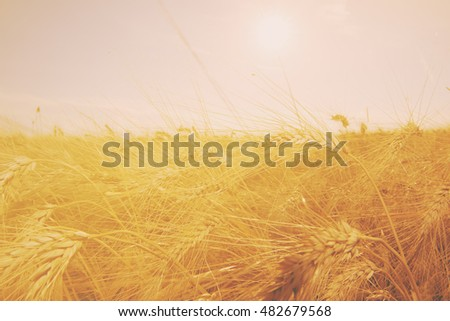 wheat field with ripe ears ready for harvest in sunset light #482679568